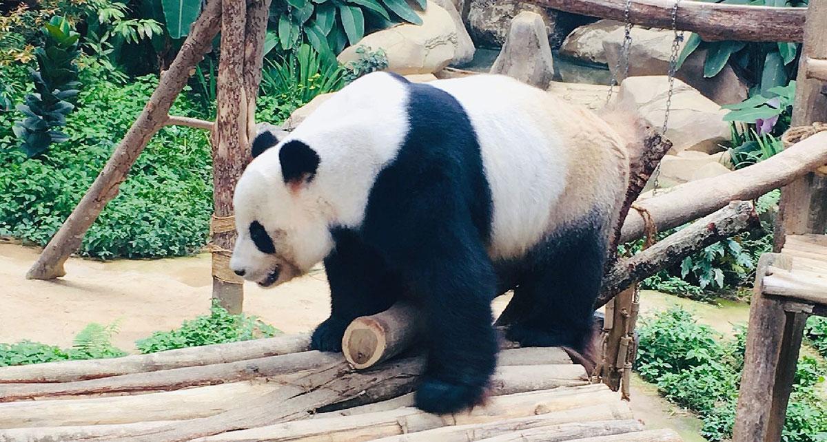 "Panda ""Liangliang"" Gave Birth to Cubs"
